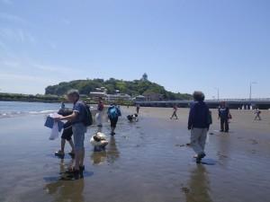 20140517江ノ島 砂浜海岸生物調査報告1